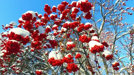 üvez ağacı : Rowanberry in winter. Looking up through the rowan-tree branches and red berries clusters with snow caps at the blue sky Stok Video