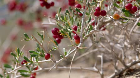 spiky : Shrub Nitraria sibirica with red berries in mongolian arid sandy desert. Western Mongolia