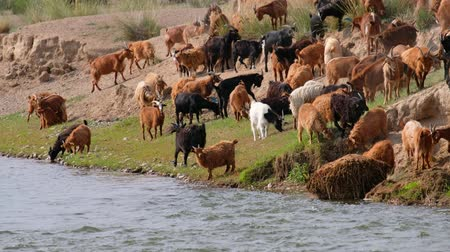 drove : Goats drinking water on watering-place on the Mongolian river Dzabhan-gol in Govi-Altay province in south-west Mongolia