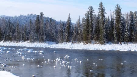 frazil ice : Stones with snow caps in the water of Altai Biya river in winter season with forest on background. Siberia, Russia