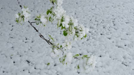 florescência : Apple-tree flowers under the snow in the spring Spring snowfall in Siberia. Novosibirsk, Russia Vídeos