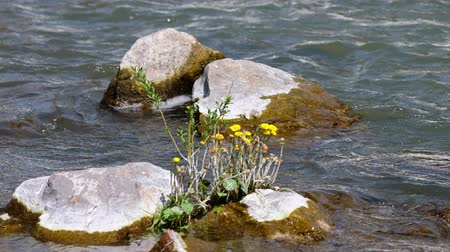 sputter : Tussilago farfara or coltsfoot flowers on stones in the river Vydriha near village Belovo in Novosibirsk region, Siberia, Russia