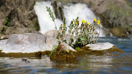 yellow flowers : Tussilago farfara or coltsfoot flowers on stones on waterfall background. Rriver Vydriha near village Belovo in Novosibirsk region, Siberia, Russia Stock Footage