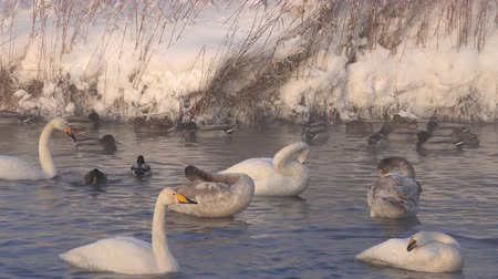 Swans Cygnus cygnus on Altai lake Svetloe in the evaporation of the mist at evening time in winter Stock mozgókép