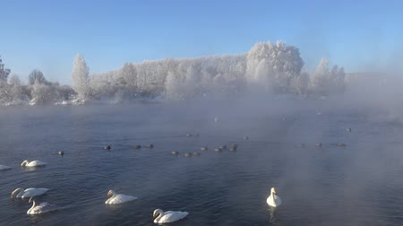 Swans Cygnus cygnus on Altai lake Svetloe in the evaporation of the mist at morning time in winter Stock mozgókép