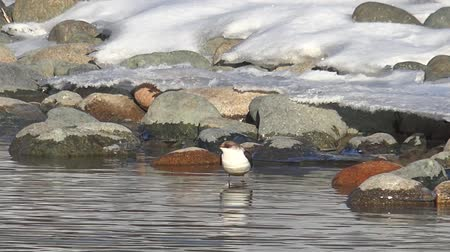 Bird white-throated dipper Cinclus cinclus in water of Altai river Katun in winter time. Siberia, Russia