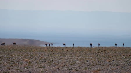Camels in hot quivering on the background of the Mirage in the mongolian arid stone desert. Optical illusion of water lake oasis on horizon. Western Mongolia.