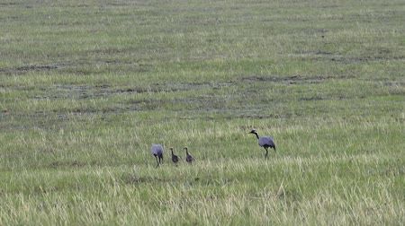 Family of cranes (crane belle or Anthropoides virgo) grazing in a meadow. Parants and two chicks are walking on the steppe. Northern mongolia