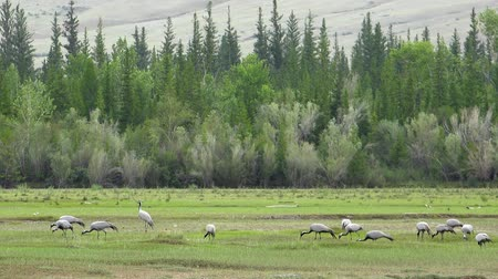 A large flock of cranes (crane belle or Anthropoides virgo) grazing in a meadow. Northern mongolia