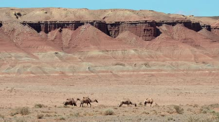 Herd of bactrian camels under red clay cliffs nera mongolian sandy desert Mongol Els. Bulgiin Ereg territory in Western Mongolia. Stock mozgókép