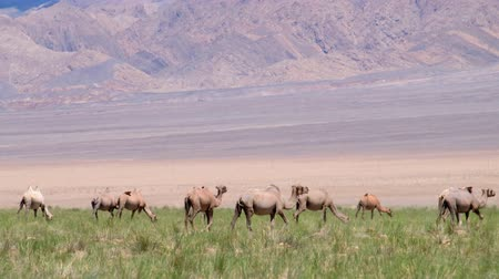 tay : Herd of bactrian camels in mongolian desert. Khovd province, Western Mongolia. Stok Video