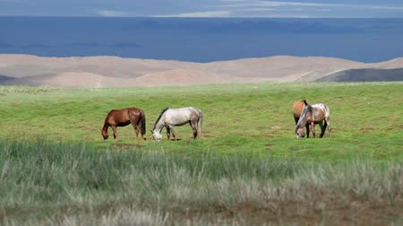 Herd of horses graze on meadow in oasis near Mongolian sand desert Mongol Els. Govi-Altay, Mongolia.