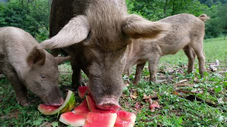 Children piglets are eating watermelon peels