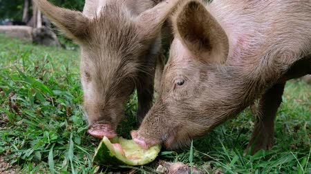 champ : Two piglets are eating watermelon peels
