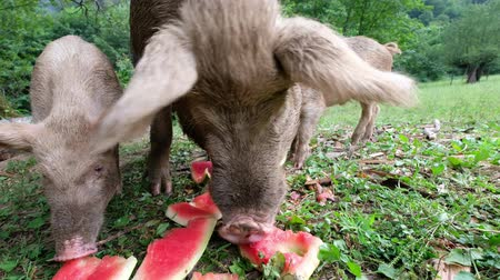 munch : Children piglets are eating watermelon peels