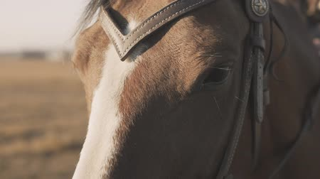 Close up of eyes of thoroughbred racehorse in slow-mo. Eyes of beautiful horse