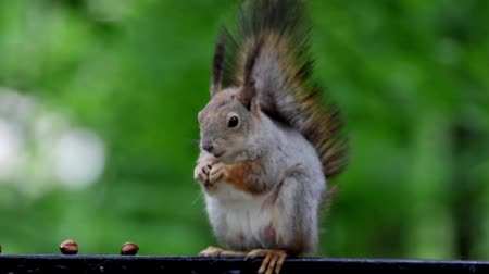 squirel : Red squirel eating nut