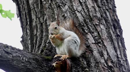 squirel : Red squirel eating nut on a tree