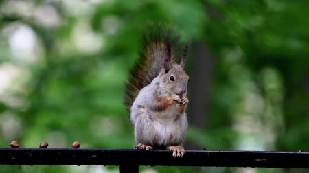 squirel : Red squirel eating nut on a green nature background closeup Stock Footage
