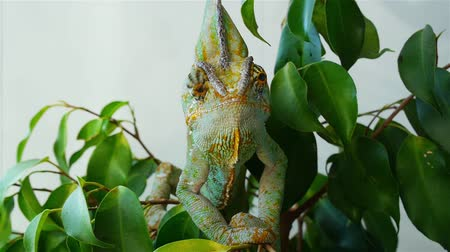 chamaeleo : Chameleon hiding in the leaves