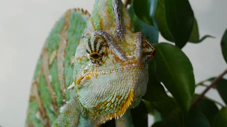 chamaeleo : head Chameleon Stock Footage