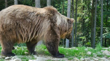 grizzly bär : Grizzly Videos