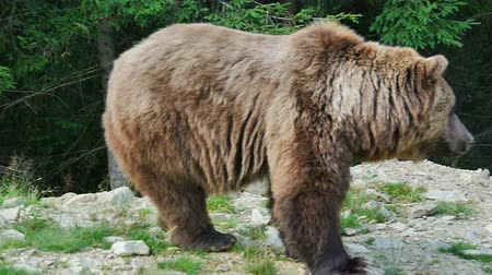 orso : Big Bear vicino