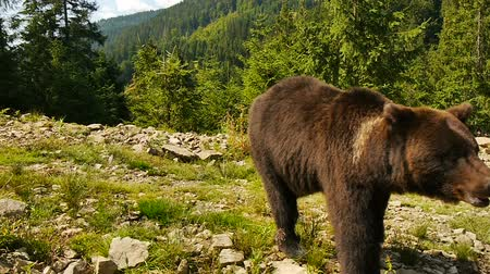 miś : A curious young bear Wideo