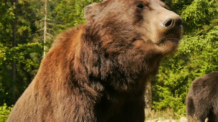 orso : Il grande orso bruno close-up