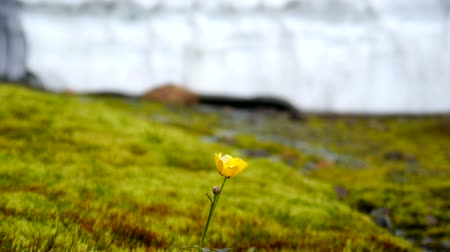 inculto : Yellow flowers near the glacier. Iceland