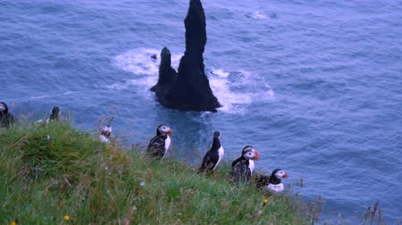 little auk : Puffins on a rock overlooking the sea