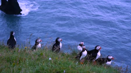 little auk : Atlantic puffins nesting in Dyrholaey, Iceland Stock Footage