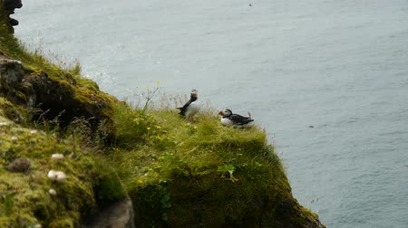 arctica : Puffins on a rock overlooking the sea