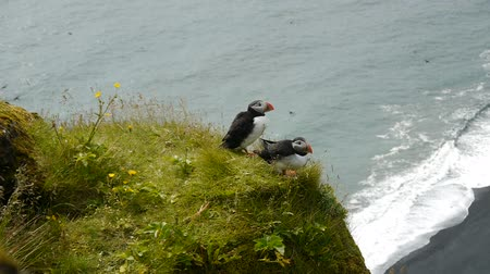little auk : Puffins on the edge of a cliff. Iceland