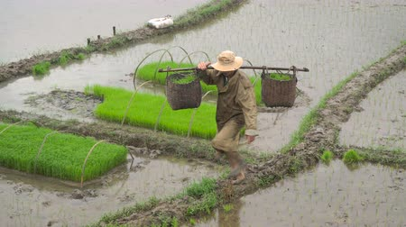fruitful : Prepare a field for growing rice. The farmer bears the sprouts of rice in the baskets. Asia