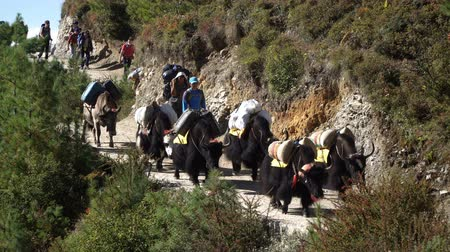 porters : NAMCHE, NEPAL - OKTOBER 22, 2017: Many tourists, porters and yaks are moving along the path leading to the base camp of Everest near Namche village on oktober 22, 2017 in Namche, Nepal Stock Footage
