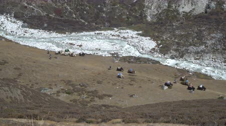 yack : Caravan of yaks in the Himalayas. Yaks carry loads in the mountains of Nepal