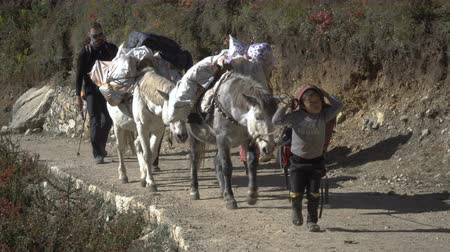 porters : NAMCHE, NEPAL - OKTOBER 22, 2017: Tourists, child porter and yaks are moving along the path leading to the base camp of Everest near Namche village on oktober 22, 2017 in Namche, Nepal Stock Footage