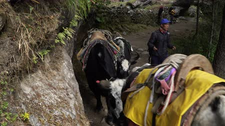 buzağı : NAMCHE, NEPAL - OKTOBER 22, 2017: Tourists, porters and yaks are moving along the path leading to the base camp of Everest on oktober 22, 2017 in Namche, Nepal