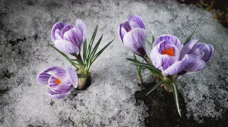 çiğdem : Early spring. Snow melting and crocus flower blooming. Time lapse. Close up