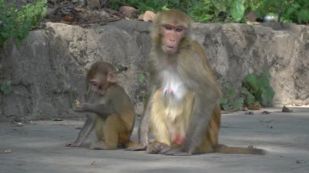 çevik : A female monkey with a small baby in Kathmandu. In the city of Kathmandu there live many wild monkeys. Especially a lot of monkeys live near the Buddhist temple of Swayambhunath.