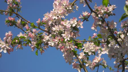 абрикосы : Spring. A blossoming tree against a blue sky.