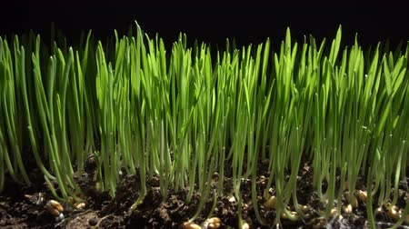 bitkiler : Sprouts of young wheat on a black background. Professional light. Moving camera. Stok Video