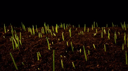hayati : Time-lapse of germinating sprouts of wheat isolated on black background. Close-up