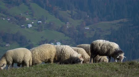 branco : Herd of sheeps in meadows. Carpathian mountains, Ukraine, Europe 4k