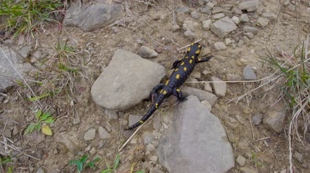kétéltű : Pregnant European fire salamander lives in the wild. This is a black lizard with yellow spots. 4K