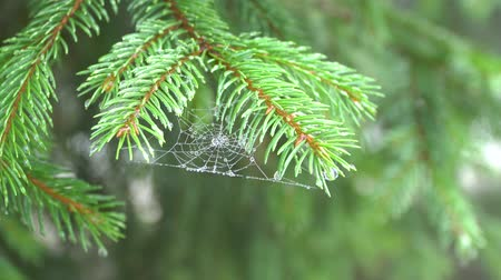 pókháló : A branch of pine with cobwebs. On the web droplets of morning dew. 4k