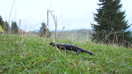 obojživelník : Pregnant European fire salamander lives in the wild. This is a black lizard with yellow spots. 4K