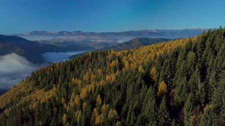 świerk : Flying over the forest and fog in the mountains. Beautiful nature of the Carpathian Mountains. 4K Aerial View.