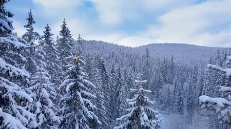 icy : Aerial flight in the winter forest. Winter landscape and snow covered trees. Snowy tree branch in a view of the winter forest. Aerial footage, 4K Stock Footage